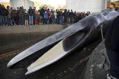 Les chasseurs islandais tuent leur première baleine