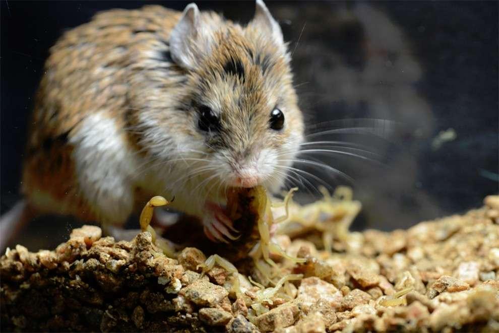 Les souris-sauterelles sont des animaux uniques en leur genre. Elles ne sont pas plus grandes qu'une souris commune, mais sont capables de manger des scorpions venimeux. Cette extraordinaire capacité pourrait aider la recherche dans l'élaboration d'analgésiques. © Rowe, université du Texas à Austin