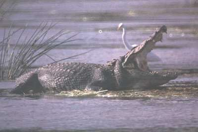 Photo d'un crocodile des marais. © Naryathegreat, domaine public