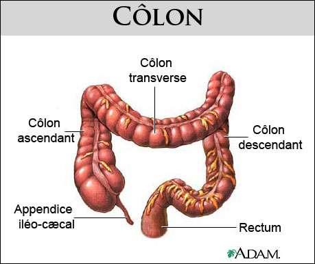 Le côlon, ou gros intestin, constitue la dernière partie du tube digestif. © www.health.allrefer.com