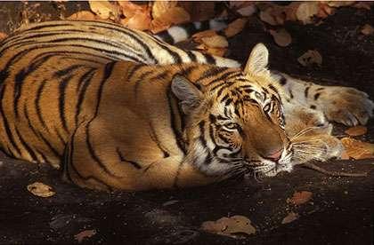 Trafic d'os et organes de tigres dans les élevages de Chine