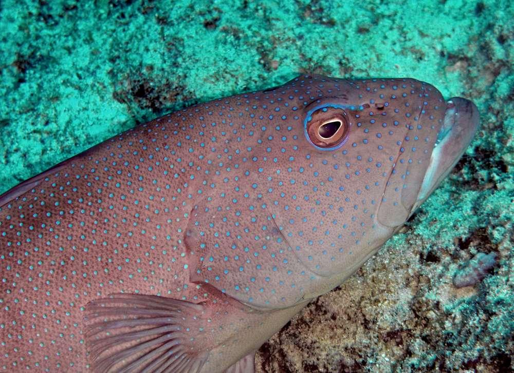 Les truites de corail (sujets de l'étude sur les mélanomes) sont des mérous et donc des serranidés. Elles ne s'éloignent jamais de plus de 500 m d'un récif. © fabvirge, Flickr, CC by-nc-sa 2.0