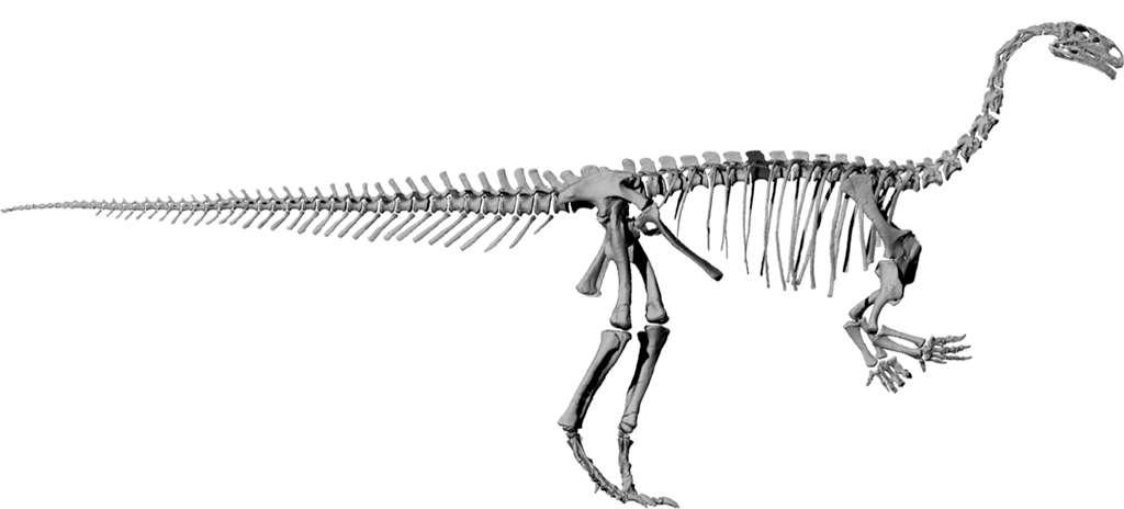 Les platéosaures, dont un squelette est présenté ici, sont des dinosaures herbivores qui mesuraient jusqu'à sept mètres de long, pour un poids de quatre tonnes. Des restes fossiles leur appartenant ont été trouvés en Allemagne, en France, au Groenland et en Suisse. © Radiological Society of North America