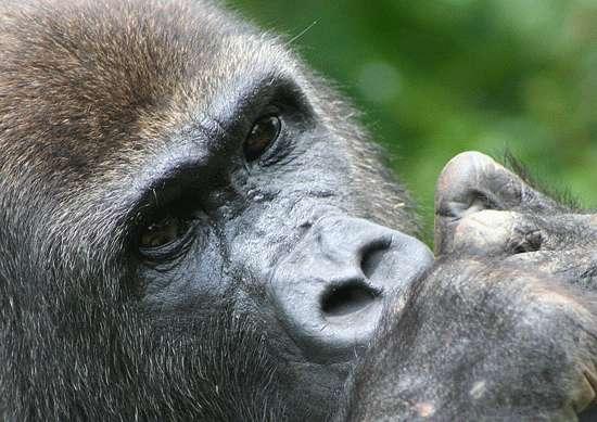 Les gorilles et les chimpanzés portent le deuxième vecteur du paludisme, Plasmodium vivax. Selon les auteurs, ce parasite aurait migré de l'Afrique vers l'Asie. © Cécile Neel, IRD