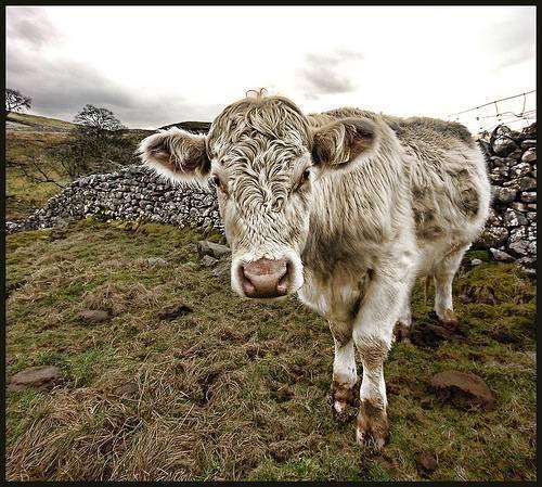 L'élevage de bétail pour la production de viande est responsable de 14,5 % des émissions de gaz à effet de serre. © Paul Stevenson, CC by 2.0