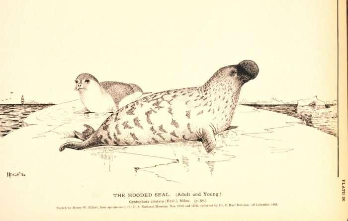 Image d'un phoque à capuchon. © NOAA, domaine public