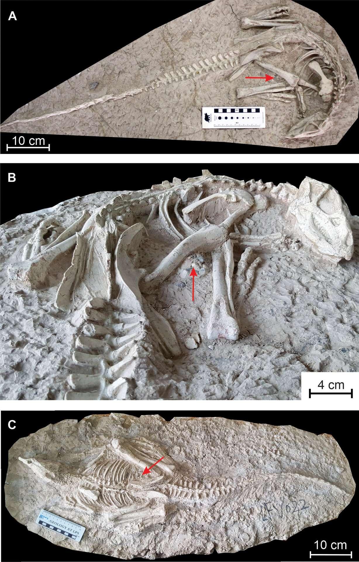 Les ossements des deux spécimens de « dormeurs éternels » trouvés en Chine. © Yuqing Yan et al. PeerJ