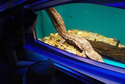 La salamandre géante de Chine, ici de couleur brun-rose (la tête est à droite), est le plus grand des batraciens. La personne sur la gauche donne la mesure de la taille de cette salamandre exceptionnelle. © afagen CC by-nc-sa 2.0