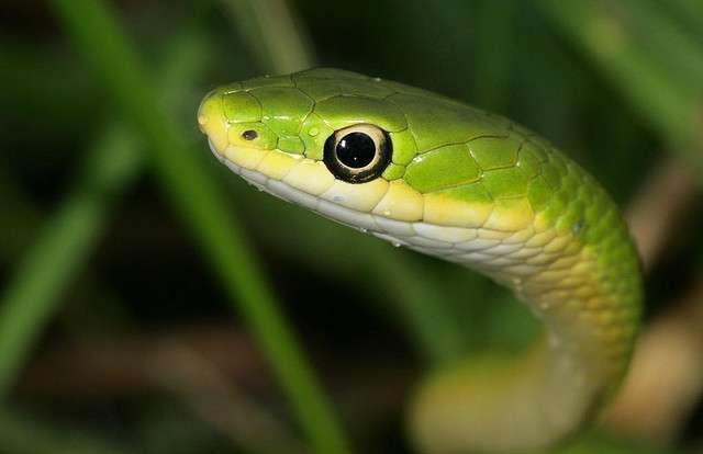 Les serpents venimeux sont des animaux qui ont avant tout peur de l'Homme. Que faire lorsqu'on en rencontre un ? © Cotinis, Flickr, CC by-nc-sa 2.0