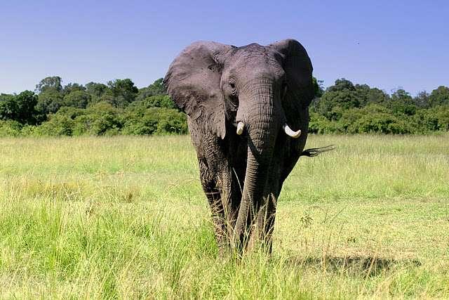 Il existe trois espèces d'éléphants, mais en introduire une en Australie pourrait mener à une spéciation. © Bruno Scala