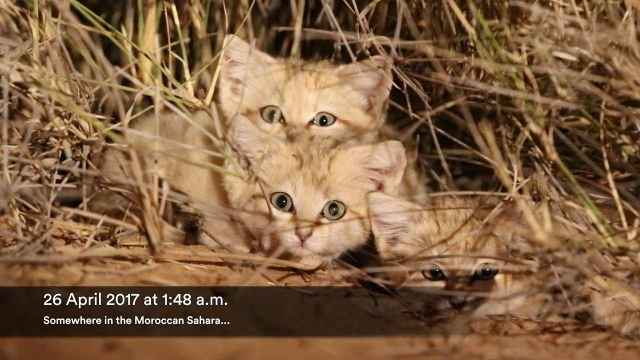 Vidéo rare d'adorables chatons des sables