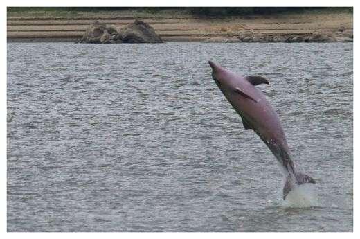 Les dauphins de Guyane peuvent détecter leurs proies grâce à des champs électriques. © Archilider, Wikimedia, CC BY-SA 3.0