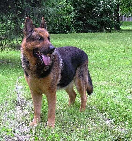 Les grands chiens, comme le berger allemand, pourraient servir à un essai testant l'effet de la rapamycine sur l'espérance de vie. © Aksel07, Wikimedia Commons, DP