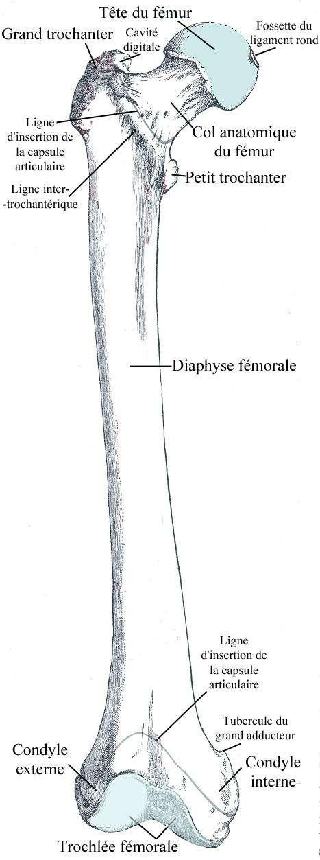Le fémur est un os long de la cuisse. © Bérichard, Wikimedia, CC by-sa 3.0