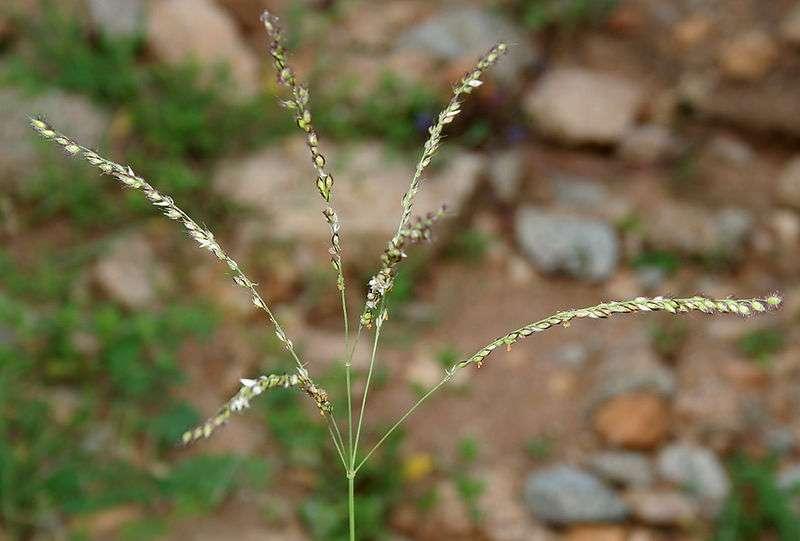 Alloteropsis est un genre d'herbe de la famille des poacées. © J.M. Garg, Wikipédia, cc by 3.0