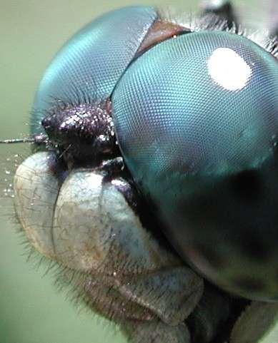 Les libellules, tout comme les coléoptères, possèdent plus de 30.000 ommatidies par œil. © David Green, Wikimedia common, CC by-sa 3.0
