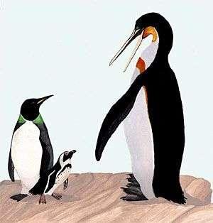 Perudyptes devriesi (à gauche) et Icadyptes salasi (à droite) comparés à l'espèce contemporaine (au centre). Crédit PNAS.