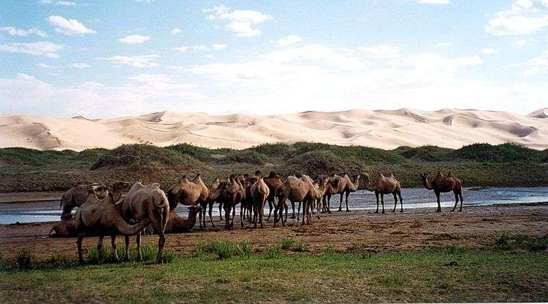 Troupeau de chameaux sauvages en Mongolie. © Doron, Wikipédia, GFDL Version 1.2