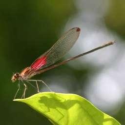 Une demoiselle mâle de l'espèce Hetaerina occisa avec des marques colorées à la base et à l'apex de ses ailes. © UCLA