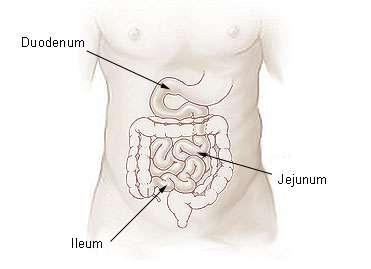 Le chyle se forme dans l'intestin grêle. © DR