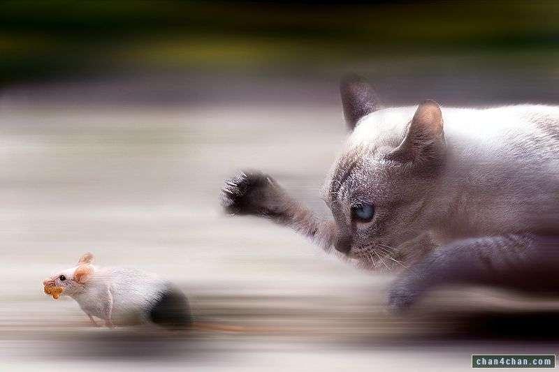 On connaît le goût des chats pour les souris. Or, on connaît moins souvent l'attrait que les rongeurs peuvent avoir pour les félins lorsqu'ils sont parasités… © KairosOfTyres, Flickr, cc by nc sa 2.0