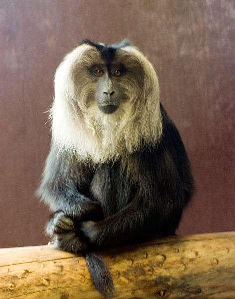Photo d'un macaque à queue de lion. © Chris huh, GNU FDL Version 1.2