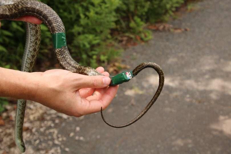 Les serpents pour mesurer la radioactivité