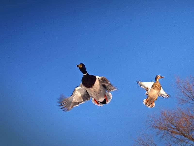 Ces deux canards colverts sont également appelés mallards. On ne connaît pas encore précisément le nombre de Hydrobia ulvae qu'ils peuvent manger par jour. En revanche, on sait déjà que certains canards tadornes peuvent en consommer jusqu'à 33.000 en 24 heures ! © Pierre Bona, Wikimedia commons, CC by-sa 3.0