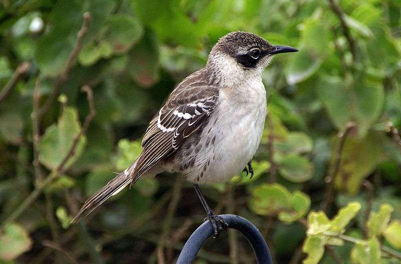 La grande diversité et la biogéographie des oiseaux des îles Galápagos suscitèrent une idée à Charles Darwin : l'évolution. © putneymark CC by-sa 2.0