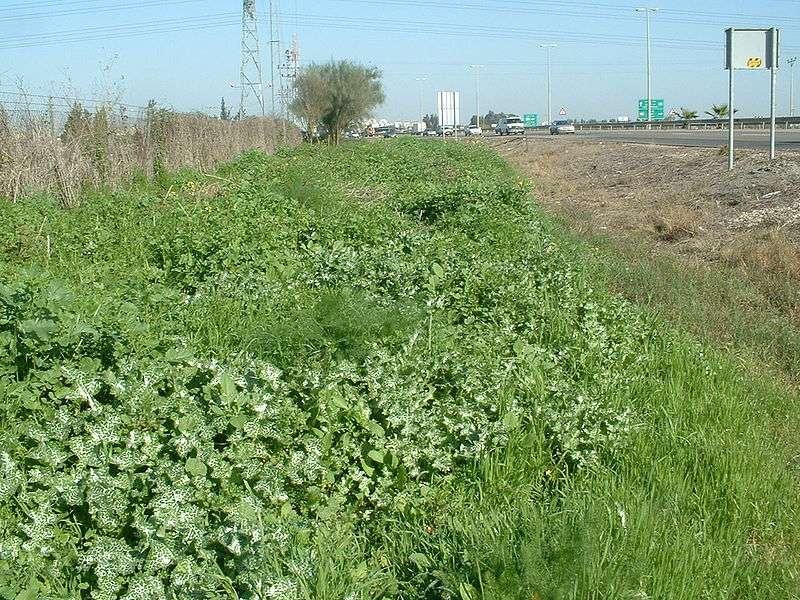 Talus de bord de route recouvert d'une végétation rudérale. © RickP, Wikimedia GFDL 1.2 CC by-sa 3.0