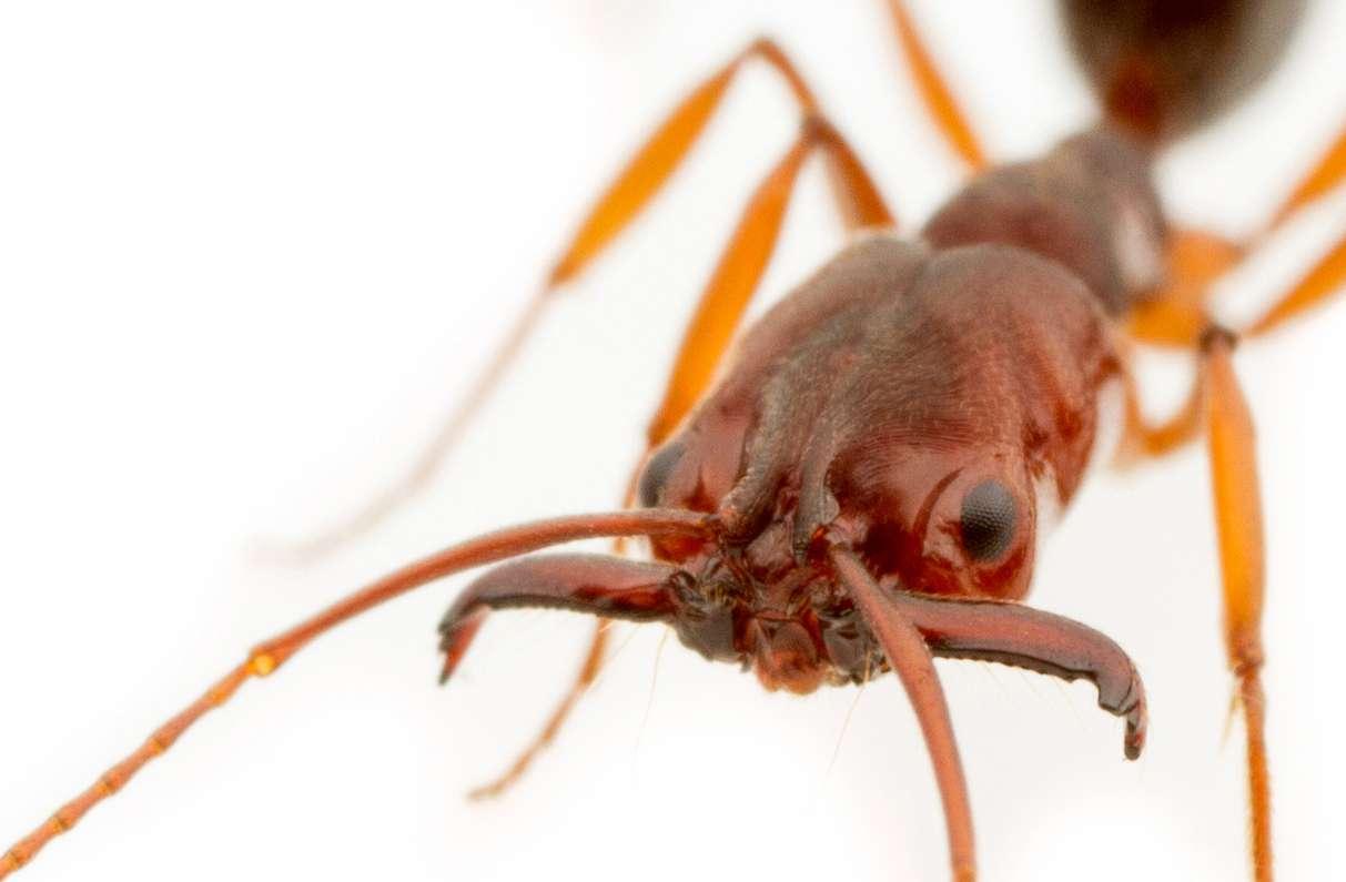 Leurs extraordinaires mandibules permettent aux fourmis Odontomachus de se propulser dans les airs et d'effectuer un saut en arrière pour échapper à leurs prédateurs. © Magdalena Sorger