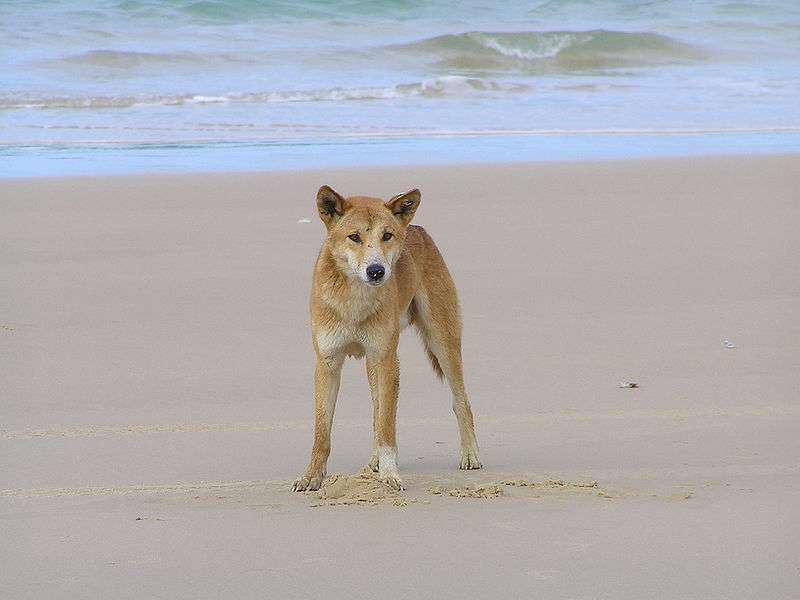 Photo d'un dingo © ogwen - CCA 2.0 Generic license