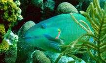 Un poisson perroquet qui prolifère dans les réserves marines et broute les algues des récifs coralliens. © University of Exeter