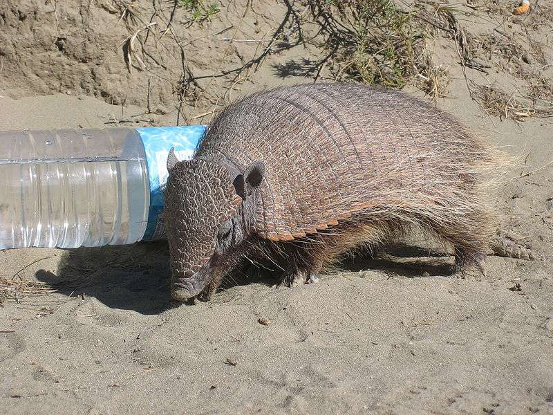 Le pichi (Zaedyus pichiy) est l'espèce de tatous la plus méridionale du continent sud-américain. Il vit dans les déserts et les steppes de Patagonie. © Prissantenbär, Wikipédia, DP