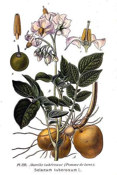 Les pommes de terre (Solanum tuberosum), à la fois plantes comestibles et… plantes carnivores ! © A. Masclef, domaine public