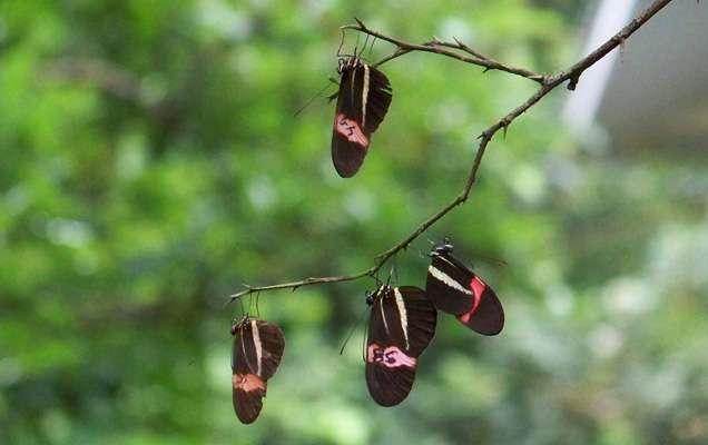 Les papillons du genre Heliconius sont abondamment étudiés pour leurs capacités de mimétisme. © Susan Finkbeiner