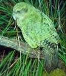 Une espèce de perroquet de Nouvelle-Zélande en voie d'être sauvée de l'extinction