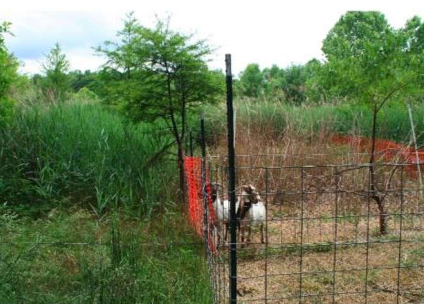 Comme on le voit sur cette photo, les chèvres sont friandes de roseaux dont la couverture s'amenuise dans les terrains tests. © Brian Silliman et al. 2014, PeerJ.