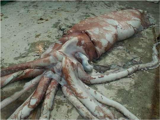 Le calmar, du genre Architeuthis, fraîchement sorti du filet de pêche. © Paul McCoy/DPI Victoria