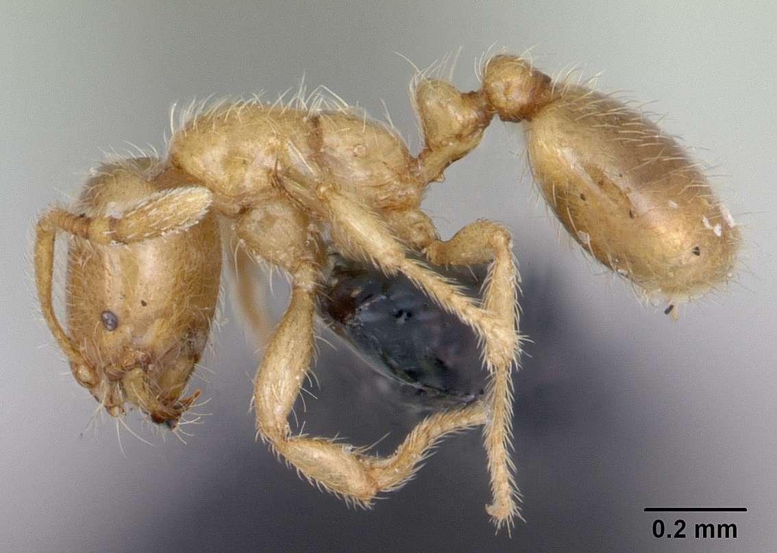 Solenopsis fugax est une espèce de fourmi voleuse, dont la petite taille lui sert à se faufiler dans les nids d'autres fourmis pour dérober leur couvain et s'en nourrir. © April Nobile, AntWeb.org, CC by-sa 3.0