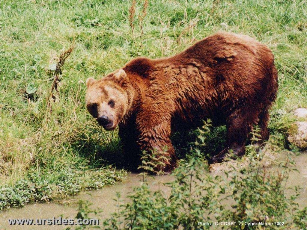 Pour l'ours brun (ici un grizzli), on ne fait état que d'une « préoccupation mineure » © Ursidés.com