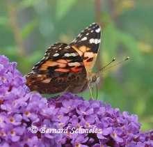 Les ailes du papillons présentent des motifs disruptifs. © Bernard Schmeltz