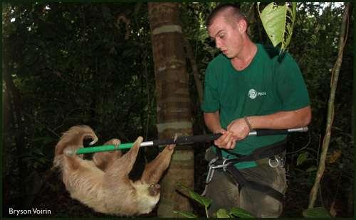 Bryson Voirin, l'un des auteurs de l'étude, en train de capturer un paresseux. © B. Voirin