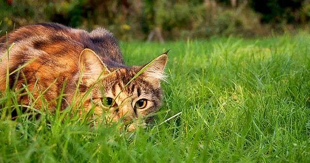 Le chat est un prédateur carnivore. Il fait partie des consommateurs secondaires. © Jennifer Barnard, Wikimedia Commons, CC by 2.0