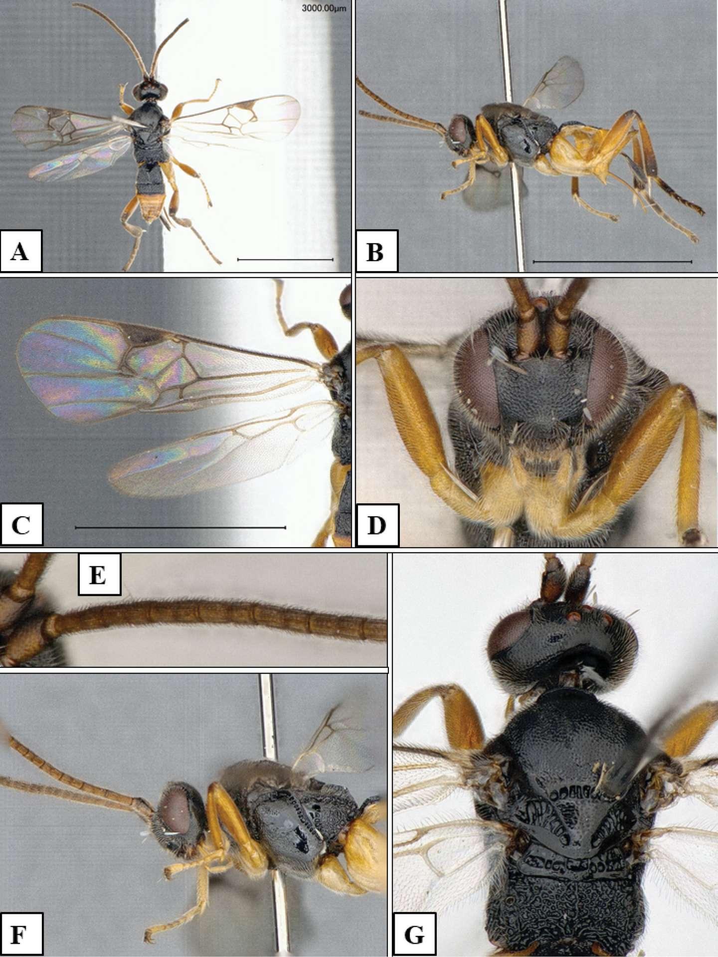 Plusieurs photos de Microgaster godzilla, la nouvelle espèce de guêpe parasitoïde décrite par les scientifiques. © Fernandez-Triana J et al., Journal of Hymnoptera Research
