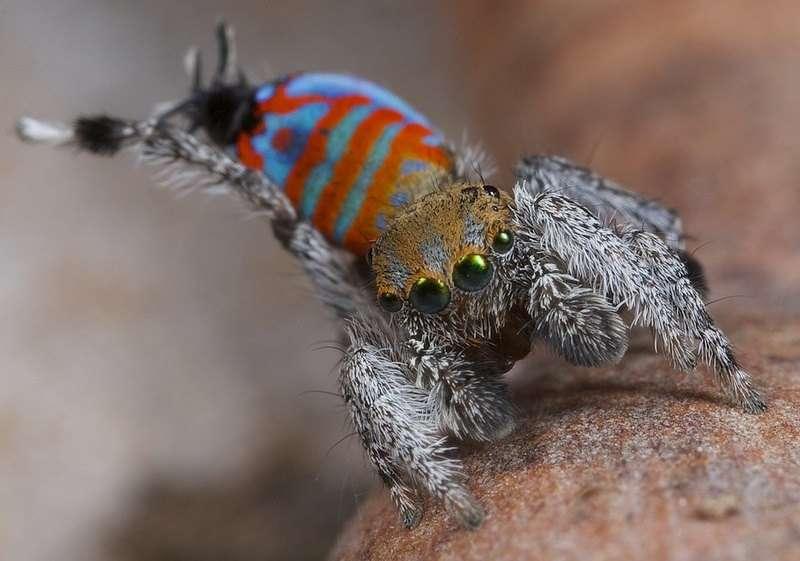 Un mâle d'araignée paon de l'espèce Maratus jactatus étend l'une de ses pattes pour séduire une femelle lors d'une danse d'accouplement. © Jürgen Otto