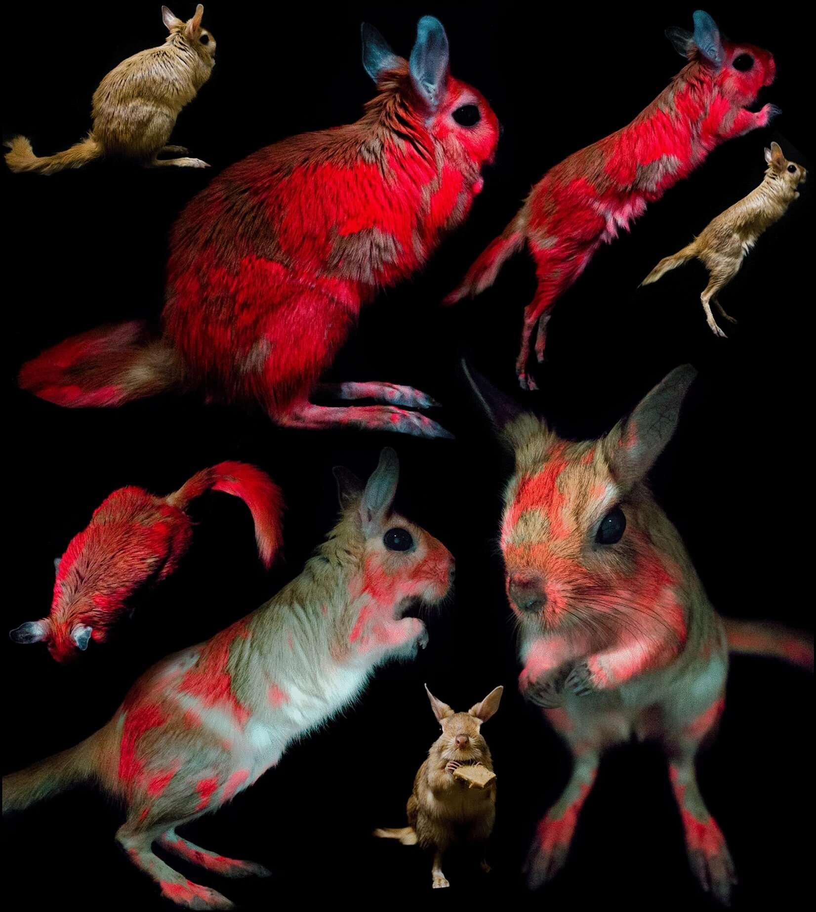 Sous les UV, le pelage de ces lièvres sauteurs brillent d'un rouge rosé intense. © Erik R. Olson et al. Scientific Reports