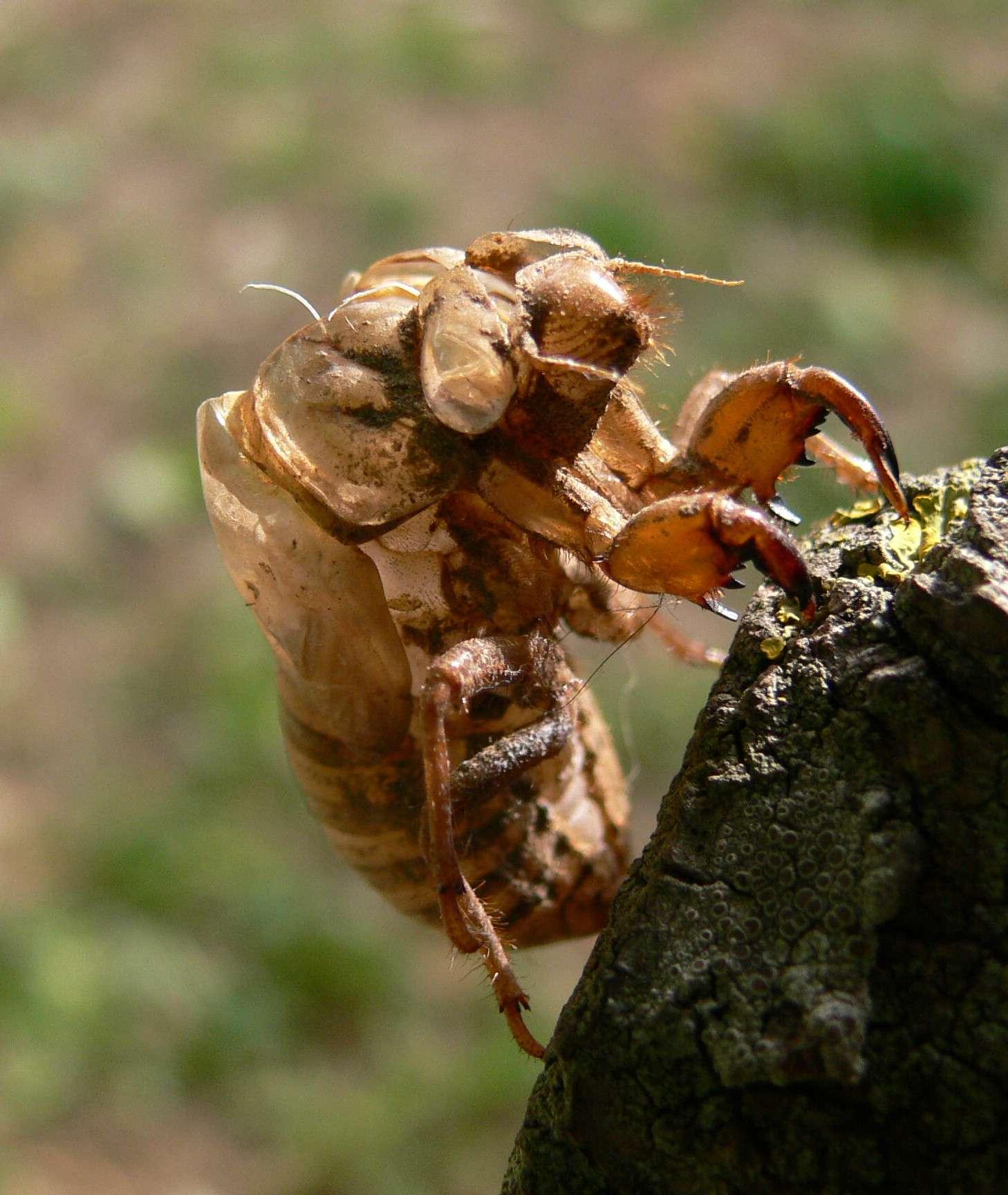 La famille des cigales comporte deux espèces en France, Lyriste plebejus (photo ci-dessus) et Cicada omi. © Jodelet Lépinay, Wikimedia Commons, cc by sa 2.5