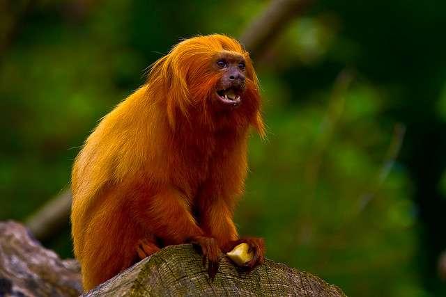 Le Tamarin lion doré vit dans des groupes composés de 5 ou 6 individus. © Martyn @ Negaro, Flickr, cc by nc nd 2.0