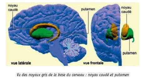 """Emplacement du striatum (structure du centre du cerveau, comprenant le noyau caudé et le putamen. Crédit : """"Le cerveau à tous les niveaux"""" (cf. liens)"""